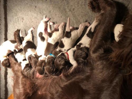 Van Bos en Veld Pippi's heidewachtel Puppies WEEK 2