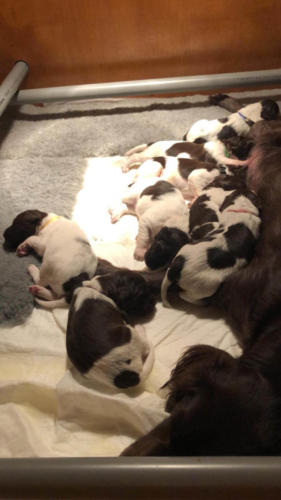 Van Bos en Veld Pippi's heidewachtel Puppies WEEK 3
