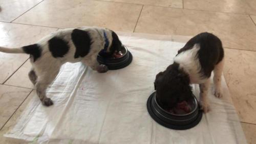 Van Bos en Veld Pippi's heidewachtel Puppies WEEK 5