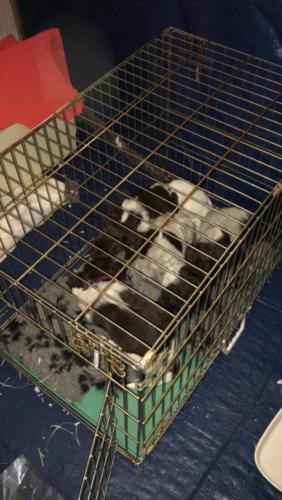 Van Bos en Veld Pippi's heidewachtel Puppies WEEK 6